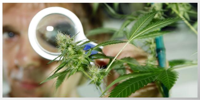 Documental Discute Retos en la Legalización de la Marihuana  Nueva Esperanza para Pacientes con Alzheimer