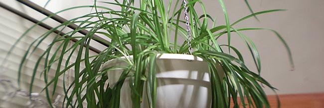 Usa plantas de interior que limpian el ambiente y no for Plantas de interior limpian aire